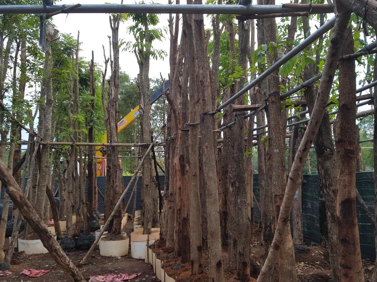 Bán cây gỗ giáng hương tại Bình Phước