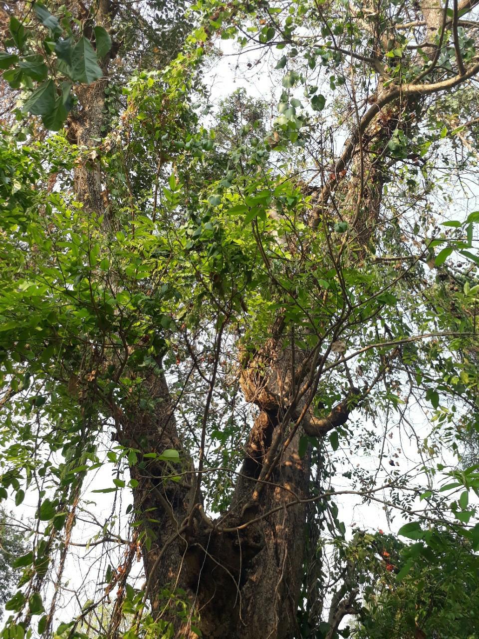 Bán cây giáng hương đỏ số lượng lớn