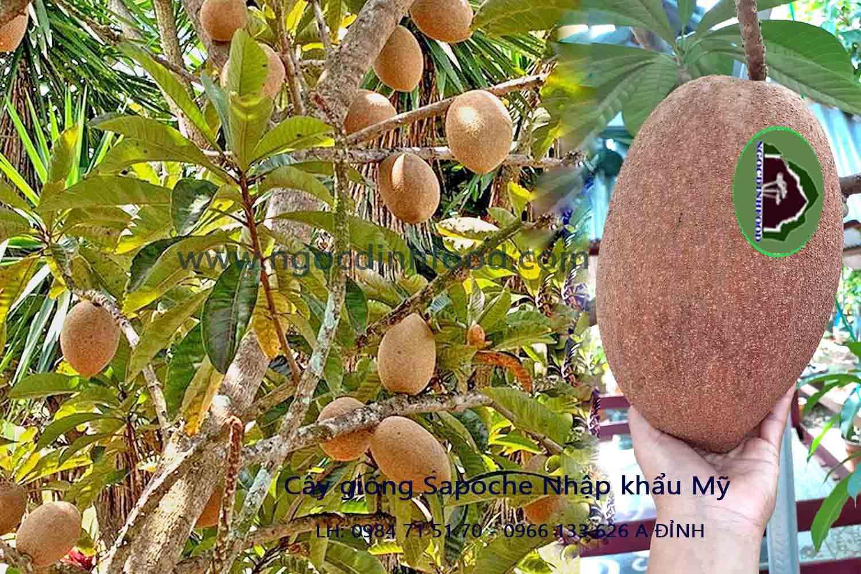 cung cấp cây giống sapoche nhập khẩu mỹ