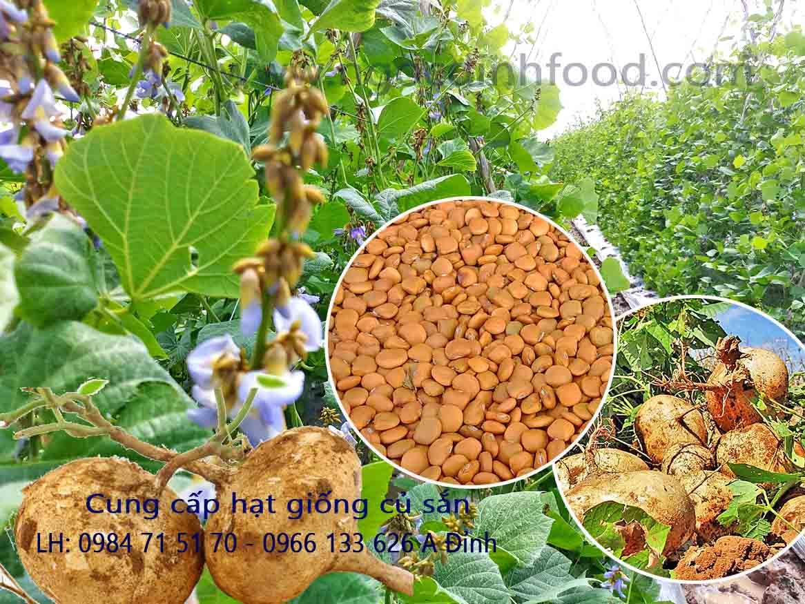 cung cấp hạt giống củ sắn