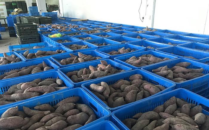 Kho lạnh bảo quản nông sản khoai lang