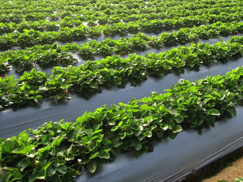 Mua màng phủ nông nghiệp ở đâu giá tốt, công ty cung cấp màng phủ đất